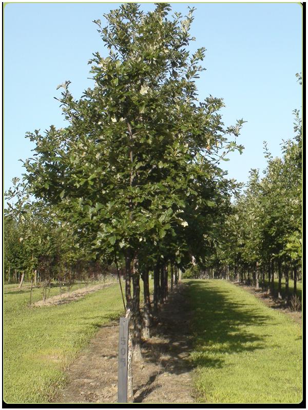 White Oak Nursery Thenurseries